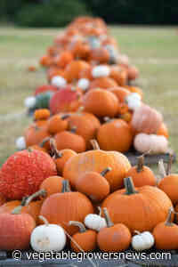 Texas pumpkin growers wrap up season