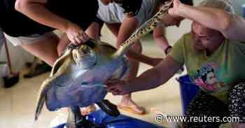 Marine turtles in rehab in Ecuador beachside hospital - Reuters