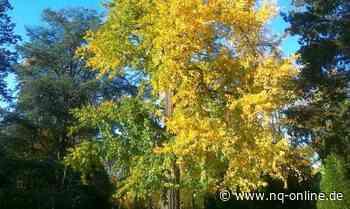 Die Ginkgo-Bäume: exotische Farbtupfer in Gelb-Blogs - Neckarquelle