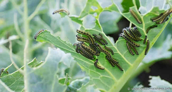 Plants can prepare for insect attack sequence