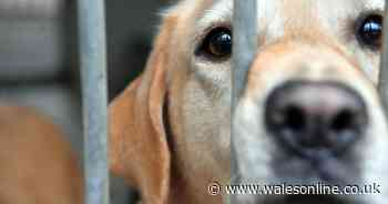 The Welsh rescue centre at crisis point as owners keep handing in their dogs as 'fake' strays