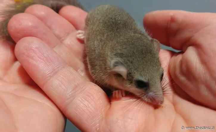 Detienen a traficantes de lirones, una delicatessen para mafiosos: hallaron más de 200 de estos roedores congelados