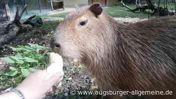"""Kult-Tier Capybara: Das sind die """"Riesen-Meerschweine"""" im Augsburger Zoo - Augsburger Allgemeine"""