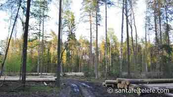 Denuncian la tala del último bosque virgen de Europa - Telefe Santa Fe