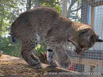 A purr-fect ending for Addison: Nancy wildlife rehab center takes in blind wildcat found at Army Depot - Commonwealth Journal's History