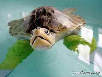 Photos: Marine turtles in rehab in Ecuador beachside hospital - Gulf News