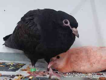 Pink Dove Rescued by Animal Charity Makes Goth Best Friend in Rehab - Newsweek