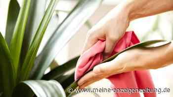 Blätter von Zimmerpflanzen säubern: So wird Staub richtig entfernt