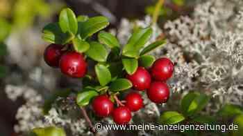 Preiselbeeren: So ernten Sie die Früchte im Oktober richtig