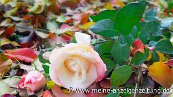 Rosen pflanzen: Deswegen ist jetzt der perfekte Zeitpunkt dafür