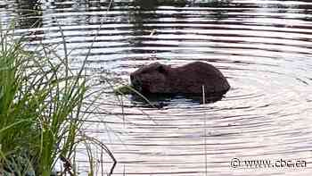 Cranbrook beavers in city park to be relocated, but some citizens want them to stay