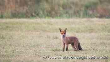 Wilder Besuch: Wenn der Fuchs im Garten steht