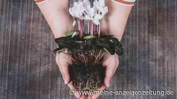 Wurzelfäule bei Zimmerpflanzen: So erkennen und behandeln Sie das Problem