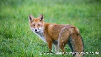 """""""Töten gehört zum Artenschutz dazu"""": Nürnberger Tiergarten jagt Füchse - Tierschützer verärgert"""