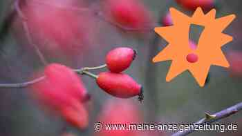 Hagebutten sammeln: Leicht mit ähnlicher Frucht zu verwechseln