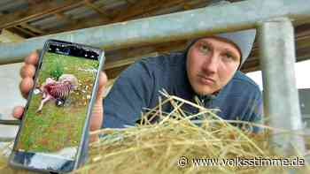 Tote Schafe in Haldensleben: Waren es wieder Wölfe? - Volksstimme