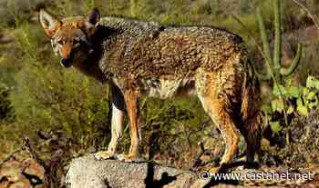 Pack of coyotes chases teen in West Vancouver - BC News - Castanet.net