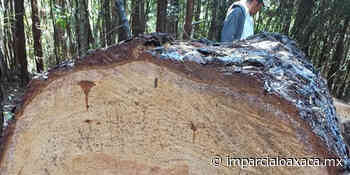 Desmienten la tala clandestina en Concepción Pápalo - El Imparcial de Oaxaca