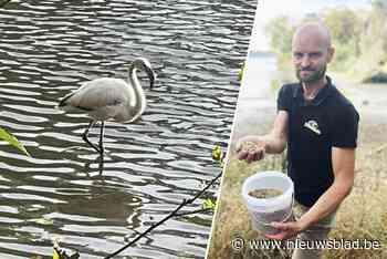 """Flamingo ontsnapt uit 'jungle' van Bellewaerde: """"Haar vangen is nog niet evident"""" - Het Nieuwsblad"""