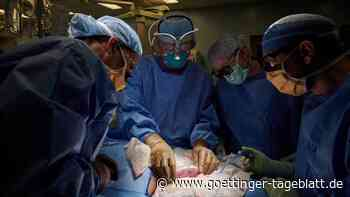 Berichte über Transplantation: Schweineniere an hirntoten Menschen angeschlossen