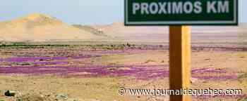 Chili: le spectacle irrégulier du «désert fleuri» de retour dans l'Atacama