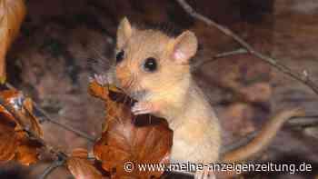 Haselmaus im Garten: So lebt das seltene Tier unbemerkt bei Ihnen