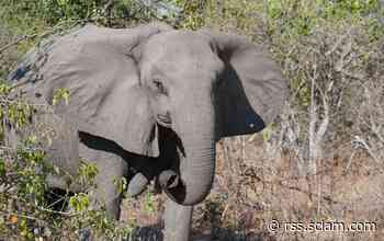 Disturbing Answers to the Mystery of Tuskless Female Elephants