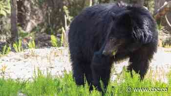 Conservation officers issue warning after black bear knocks over man in Tofino B.C.