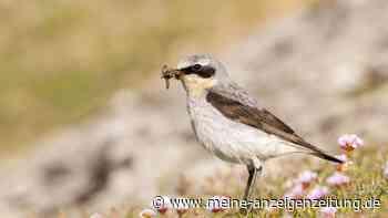 Steinschmätzer: Stark bedrohter Vogel mit besonderem Lebensraum