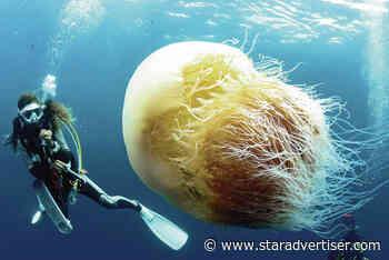 Giant jellyfish threaten Japanese fisheries - Honolulu Star-Advertiser