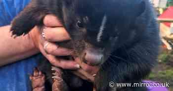 Pet skunk missing for a week spotted eating birdseed outside DIY superstore