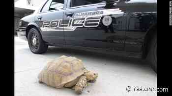 Low-speed chase ends as police nab tortoise