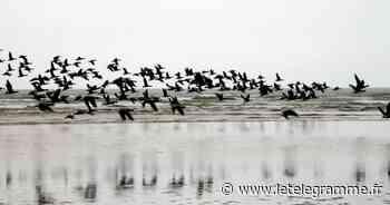 Baie de Saint-Brieuc : l'arrivée des oiseaux migrateurs, ça se fête ! - Le Télégramme