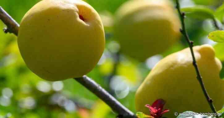 200 Kilogramm reife Quitten aus Garten geklaut