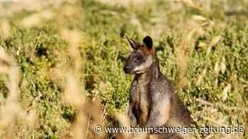 Vermisstes Känguru ist einfach wieder da