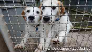 """Viele """"Lockdown-Hunde"""" landen in britischen Tierheimen: """"Es sind beispiellose Zahlen"""""""