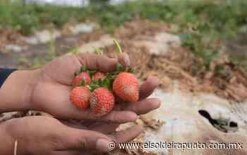 Ataca plaga asiática a cultivos de la fresa - El Sol de Irapuato
