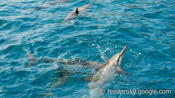 New ban on swimming with spinner dolphins impacts Hawaii operators