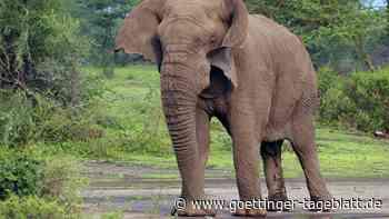 Ein Gendefekt als Überlebensvorteil: Immer mehr Elefantenweibchen kommen ohne Stoßzähne zur Welt
