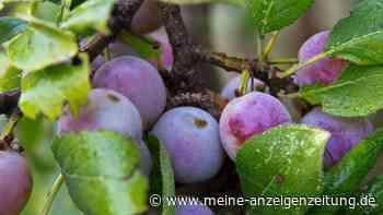 Zwetschgenbaum pflanzen: So ernten Sie im nächsten Jahr leckeres Steinobst