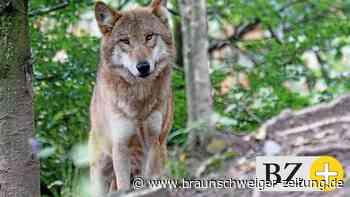 Haben Wölfe vier Schafe südlich von Wolfsburg gerissen?