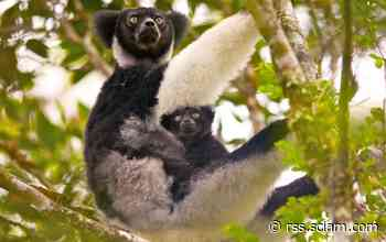 Giant Lemurs Are the First Mammals (Besides Us) Found To Use Rhythm