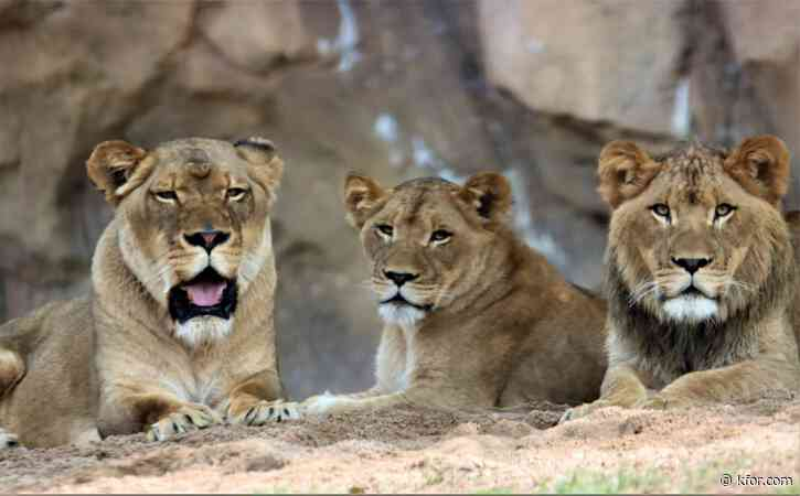 11 African lions test positive for COVID-19 at Denver Zoo
