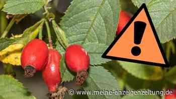 Hagebutten sammeln: Frucht ist leicht zu verwechseln