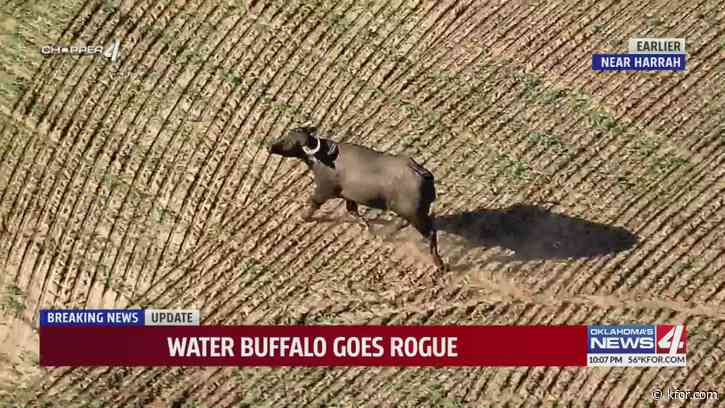 Authorities, citizens chase water buffalo through Oklahoma County fields