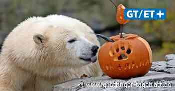 Kürbis-Überraschung für Tiere: Zoo Hannover feiert Halloween