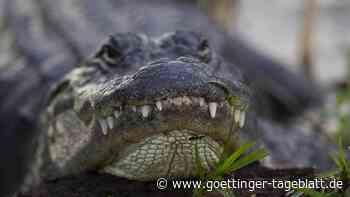Alligator kriecht aus Abflussloch von Apartmentanlage in den USA