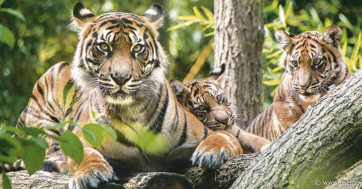 Heidelberger Zoo:  Die Tiger werden groß (Update)