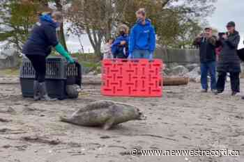 Vancouver Aquarium releases five utterly adorable harbour seals (VIDEO & PHOTOS) - The Record (New Westminster)