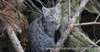 Laut BUND: Im Aachener Stadtwald leben Wildkatzen
